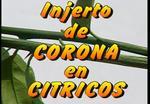 Injerto de púa en corona en Cítricos