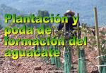 Plantación y poda del Aguacate