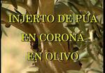 Injerto de púa en corona en Olivo